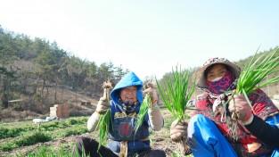 (포토뉴스) 겨울을 이겨내고 자란 보성 봄 쪽파 수확 한창