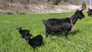 보성군, 염소 가족의 평화로운 봄날