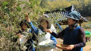 茶田마을 야생 햇차 수확